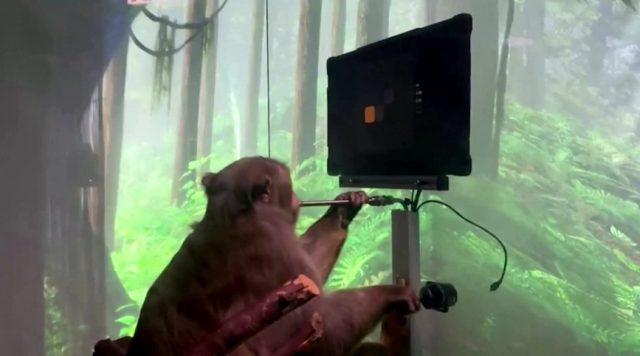 monyet elon musk main game